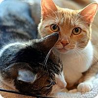 Adopt A Pet :: Hansel - Brooklyn, NY