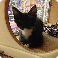 Adopt A Pet :: Socks - Lakewood, CA