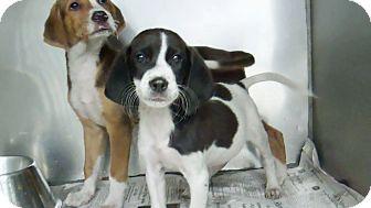 Hound (Unknown Type) Mix Puppy for adoption in Philadelphia, Pennsylvania - Mason