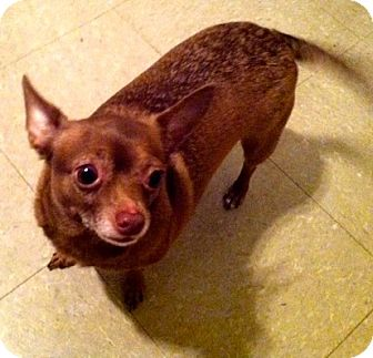 Chihuahua Mix Dog for adoption in Shelby, North Carolina - Cookie