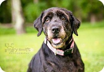 Labrador Retriever/Schnauzer (Standard) Mix Dog for adoption in Reisterstown, Maryland - Diamond