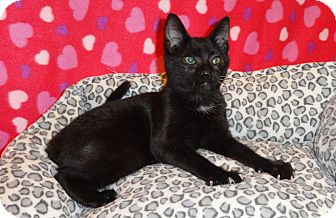 Domestic Shorthair Kitten for adoption in Plano, Texas - LOVEBUG - LITTLE LOVER!!!