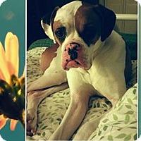 Adopt A Pet :: Sophie - St. Robert, MO