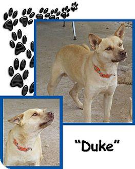 Cattle Dog/Labrador Retriever Mix Dog for adoption in Santee, California - Duke
