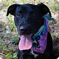 Adopt A Pet :: Cuddles - Burleson, TX