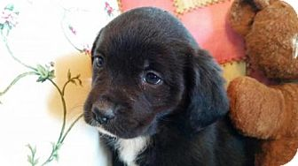 Anatolian Shepherd/Labrador Retriever Mix Puppy for adoption in Manhattan, New York - Venus