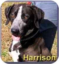 German Shorthaired Pointer/Labrador Retriever Mix Dog for adoption in Aldie, Virginia - Harrison
