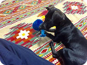 Dachshund Mix Puppy for adoption in Brattleboro, Vermont - Shelby