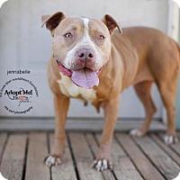 Adopt A Pet :: Jennibelle - Toluca Lake, CA