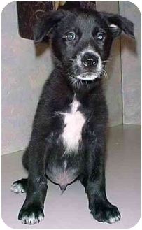 Labrador Retriever Mix Puppy for adoption in North Judson, Indiana - Whisper