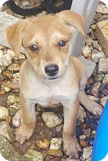 Labrador Retriever/Beagle Mix Puppy for adoption in Trenton, New Jersey - Bonita