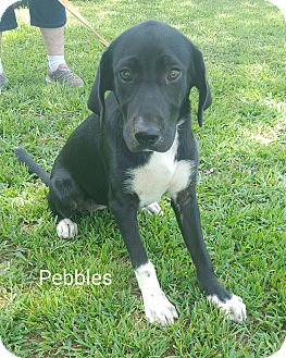Border Collie/Hound (Unknown Type) Mix Puppy for adoption in albany, New York - Pebbles