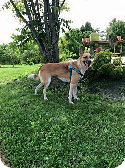 Cattle Dog/Shepherd (Unknown Type) Mix Dog for adoption in Mechanicsburg, Ohio - Sophie