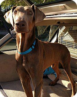Doberman Pinscher Mix Dog for adoption in Gig Harbor, Washington - Jack