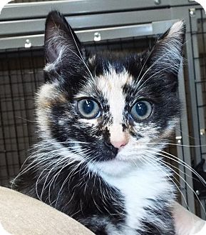 Domestic Shorthair Kitten for adoption in Grants Pass, Oregon - Ariel