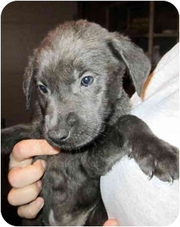 Labrador Retriever Mix Puppy for adoption in Bel Air, Maryland - Tessa