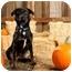 Photo 3 - Labrador Retriever/Rottweiler Mix Dog for adoption in Portland, Oregon - Tipper