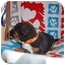 Photo 2 - Shepherd (Unknown Type)/Rottweiler Mix Puppy for adoption in Westminster, Colorado - Tegin