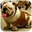 Photo 1 - English Bulldog Dog for adoption in Gilbert, Arizona - Ellsworth