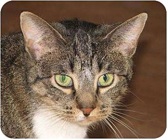 Domestic Shorthair/Domestic Shorthair Mix Cat for adoption in Woodstock, Illinois - Alice