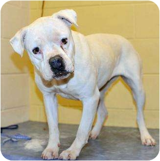 American Bulldog/American Pit Bull Terrier Mix Dog for adoption in Clarksville, Tennessee - Lulu
