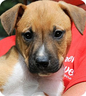 Boxer Mix Puppy for adoption in Wakefield, Rhode Island - GAGE(BEAUTIFUL PUPPY!!!