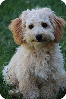 Maltese/Poodle (Toy or Tea Cup) Mix Puppy for adoption in Yuba City, California - Marnie