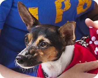 Rat Terrier Dog for adoption in North Palm Beach, Florida - Glenda