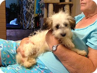 Poodle (Miniature)/Shih Tzu Mix Dog for adoption in Hazard, Kentucky - Curly Sue