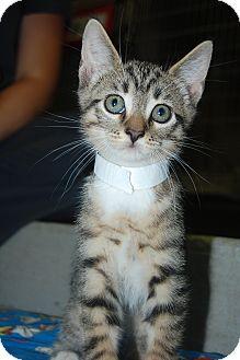Domestic Shorthair Kitten for adoption in Bradenton, Florida - Gordon