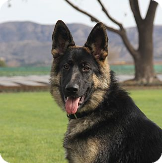 German Shepherd Dog Puppy for adoption in Laguna Niguel, California - Fargo