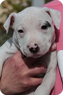 American Bulldog Mix Puppy for adoption in Sacramento, California - Hayley