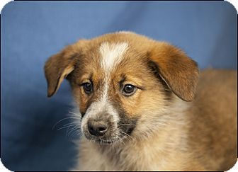 Australian Cattle Dog/Border Collie Mix Puppy for adoption in Colville, Washington - Brownie