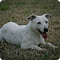 Labrador Retriever/Terrier (Unknown Type, Medium) Mix Dog for adoption in Jackson, Mississippi - Trish
