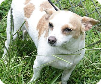 Chihuahua Mix Dog for adoption in Brooksville, Florida - 1023461 Butter Bean