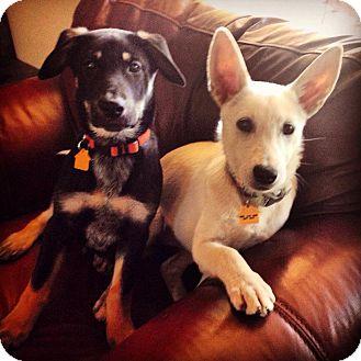 Labrador Retriever/Shepherd (Unknown Type) Mix Puppy for adoption in Phoenix, Arizona - Chili