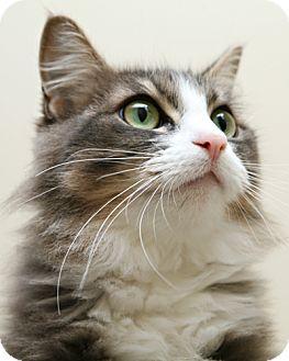 Domestic Longhair Cat for adoption in Bellingham, Washington - Cinderella