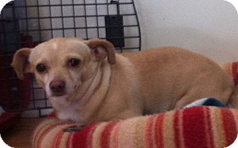 Chihuahua Dog for adoption in Media, Pennsylvania - Dolly