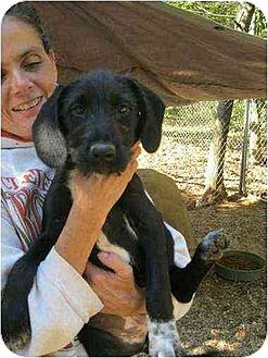 Wirehaired Pointing Griffon Mix Puppy for adoption in Oswego, New York - Sharlotte