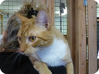 Domestic Shorthair Cat for adoption in Quincy, California - Mickey