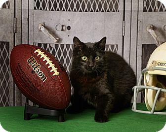 Domestic Shorthair Kitten for adoption in Harrisonburg, Virginia - Snuggle Bear