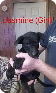 Labrador Retriever Mix Puppy for adoption in Richmond, Virginia - JASMINE
