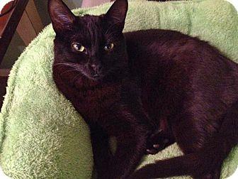 Domestic Shorthair Cat for adoption in Redlands, California - Farrah