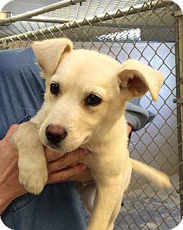 Labrador Retriever Mix Puppy for adoption in Greensburg, Pennsylvania - Trevor