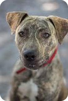 Hound (Unknown Type) Mix Dog for adoption in Bradenton, Florida - Gisele