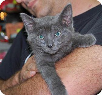 Domestic Shorthair Kitten for adoption in Brooklyn, New York - Baloo