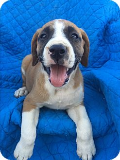 Bullmastiff/Boxer Mix Puppy for adoption in Studio City, California - Davey