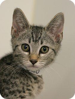 Domestic Shorthair Kitten for adoption in Staunton, Virginia - Angelo