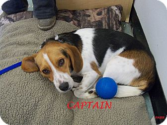 Beagle Dog for adoption in Ventnor City, New Jersey - CAPTAIN