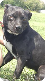 Pit Bull Terrier/Pug Mix Dog for adoption in Shelbyville, Tennessee - Gus